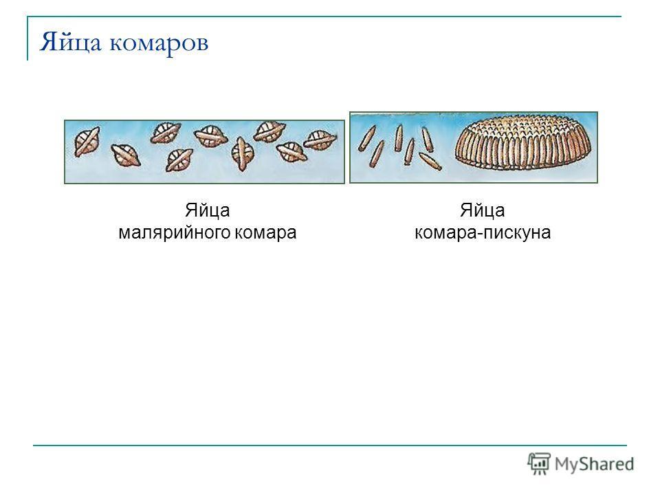 Яйца комаров Яйца малярийного комара Яйца комара-пискуна