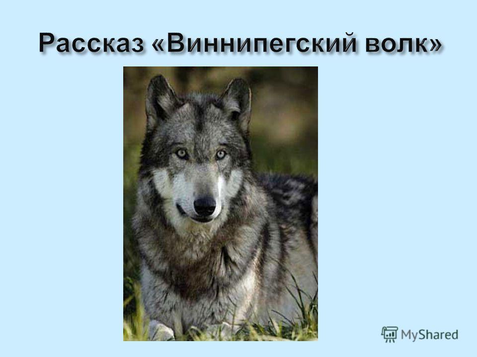 Рассказ «Виннипегский волк»