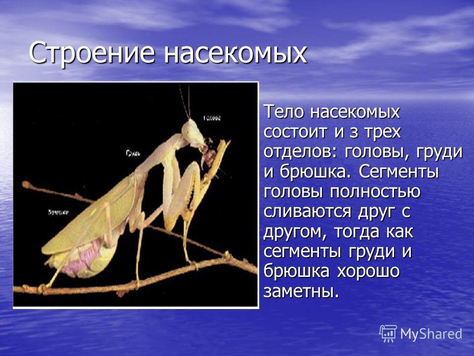 Строение насекомых Тело насекомых состоит и з трех отделов: головы, груди и брюшка. Сегменты головы полностью сливаются друг с другом, тогда как сегменты груди и брюшка хорошо заметны. Тело насекомых состоит и з трех отделов: головы, груди и брюшка.