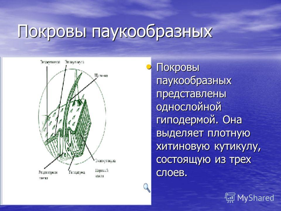 Покровы паукообразных Покровы паукообразных представлены однослойной гиподермой. Она выделяет плотную хитиновую кутикулу, состоящую из трех слоев. Покровы паукообразных представлены однослойной гиподермой. Она выделяет плотную хитиновую кутикулу, сос