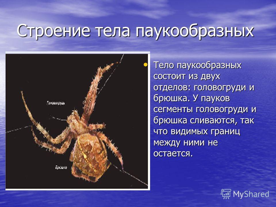Строение тела паукообразных Тело паукообразных состоит из двух отделов: головогруди и брюшка. У пауков сегменты головогруди и брюшка сливаются, так что видимых границ между ними не остается. Тело паукообразных состоит из двух отделов: головогруди и б