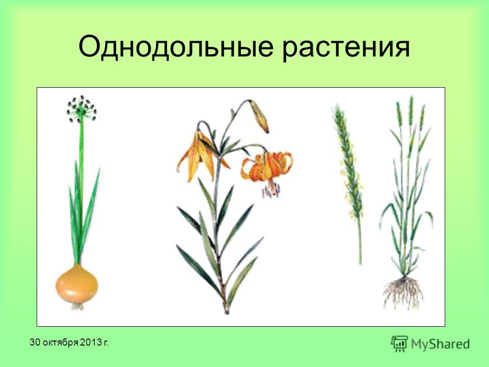 30 октября 2013 г. Однодольные растения