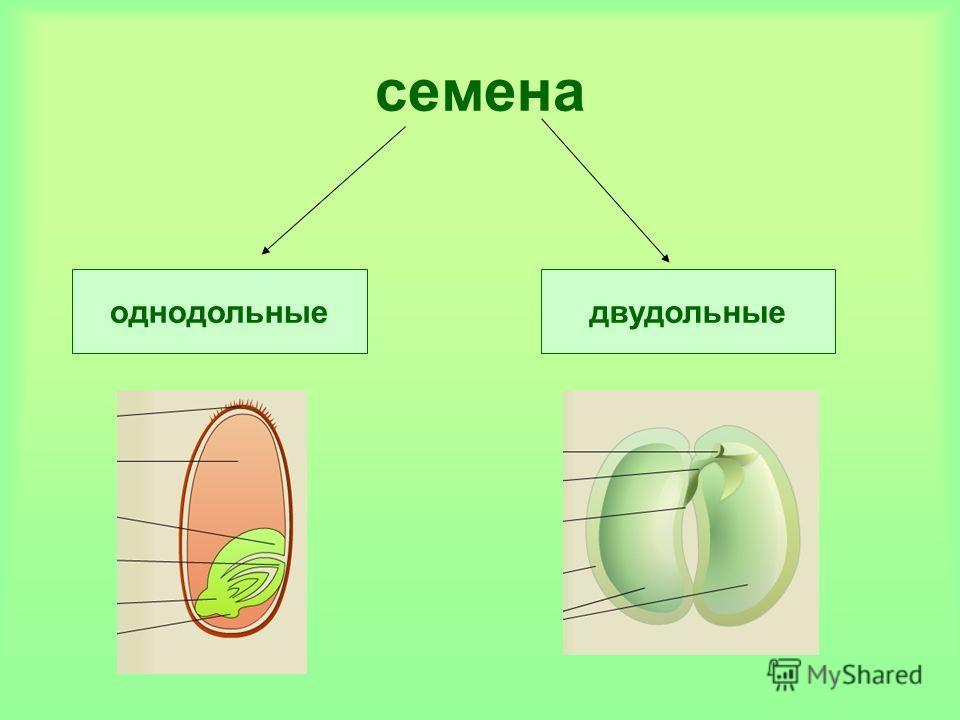 семена двудольныеоднодольные