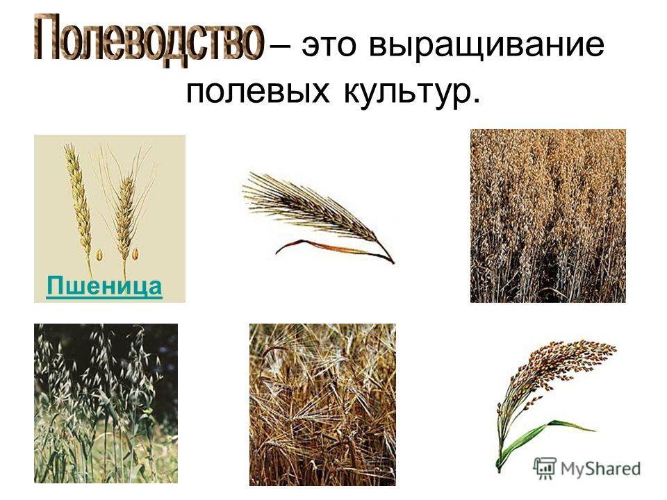 – это выращивание полевых культур. Пшеница