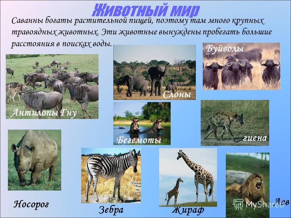 Животный мир Антилопы Гну Носорог ЗебраЖираф Саванны богаты растительной пищей, поэтому там много крупных травоядных животных. Эти животные вынуждены пробегать большие расстояния в поисках воды. Слоны Буйволы Бегемоты Лев гиена
