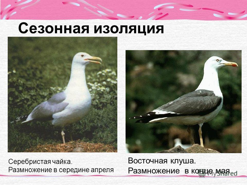 Сезонная изоляция Серебристая чайка. Размножение в середине апреля Восточная клуша. Размножение в конце мая