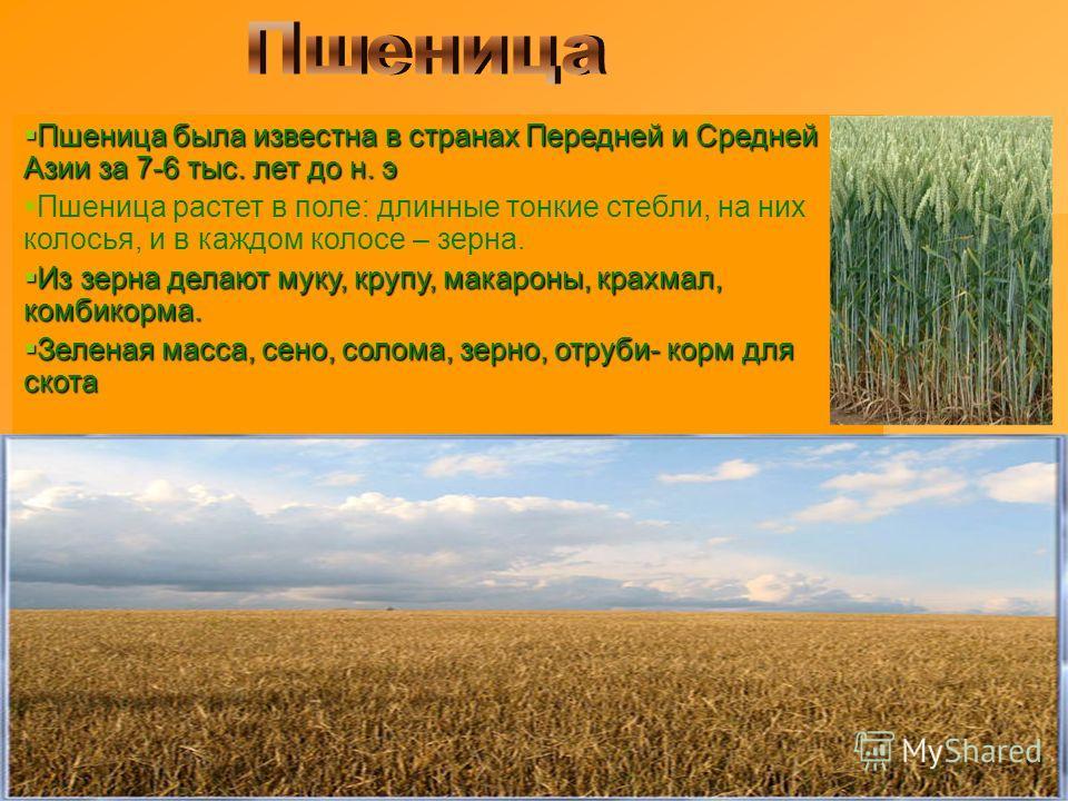 Пшеница была известна в странах Передней и Средней Азии за 7-6 тыс. лет до н. э Пшеница была известна в странах Передней и Средней Азии за 7-6 тыс. лет до н. э Пшеница растет в поле: длинные тонкие стебли, на них колосья, и в каждом колосе – зерна. И