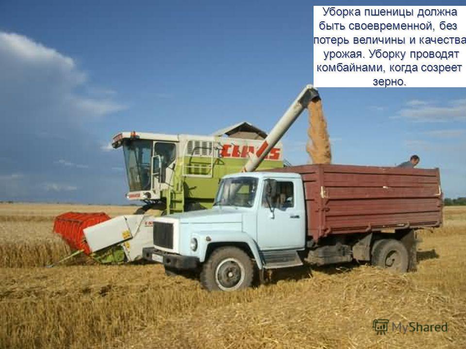 Уборка пшеницы должна быть своевременной, без потерь величины и качества урожая. Уборку проводят урожая. Уборку проводят комбайнами, когда созреет комбайнами, когда созреетзерно.