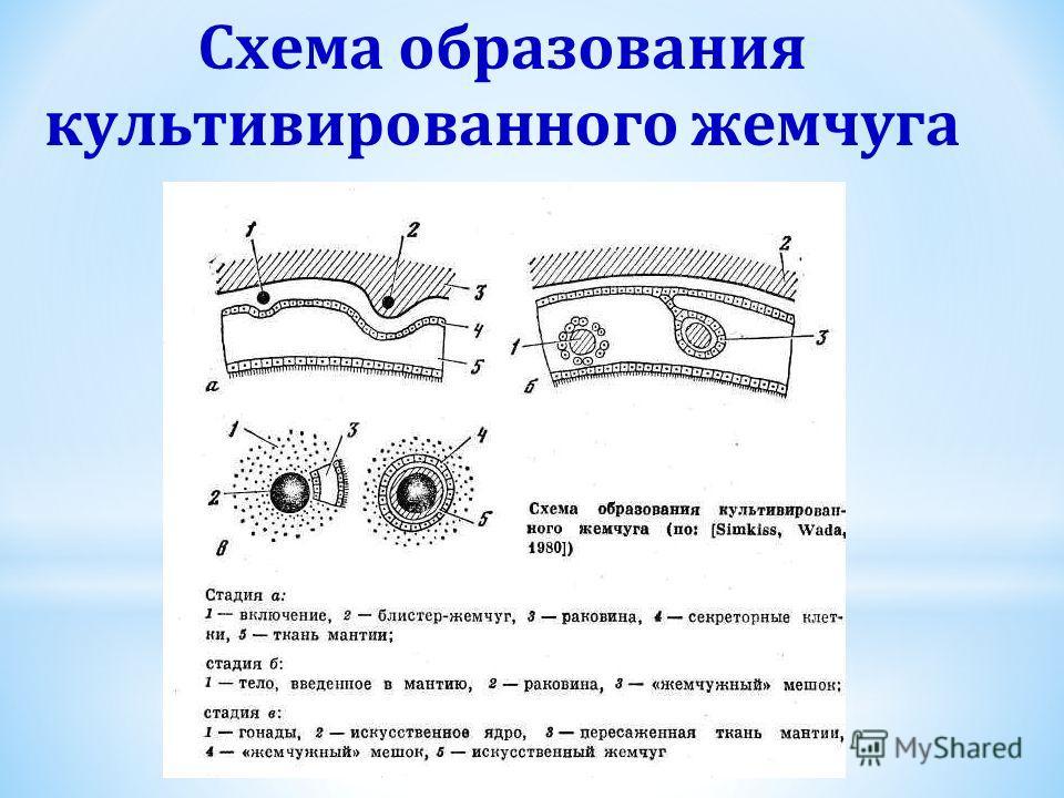 Схема образования культивированного жемчуга