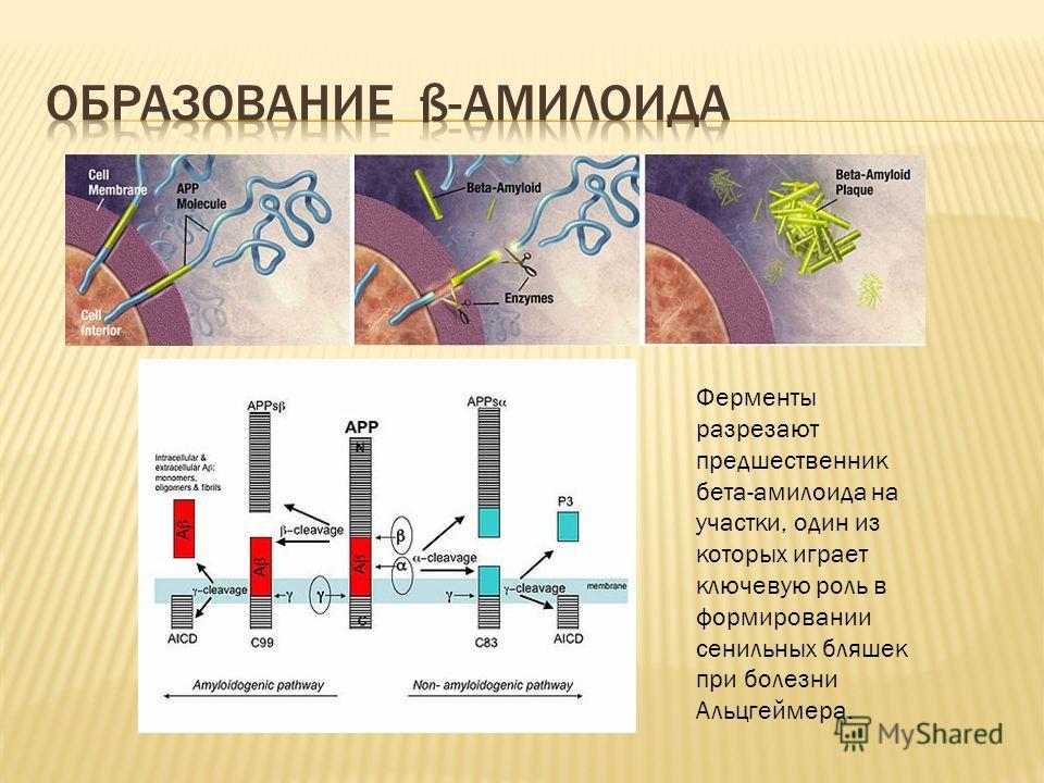 Ферменты разрезают предшественник бета-амилоида на участки, один из которых играет ключевую роль в формировании сенильных бляшек при болезни Альцгеймера.