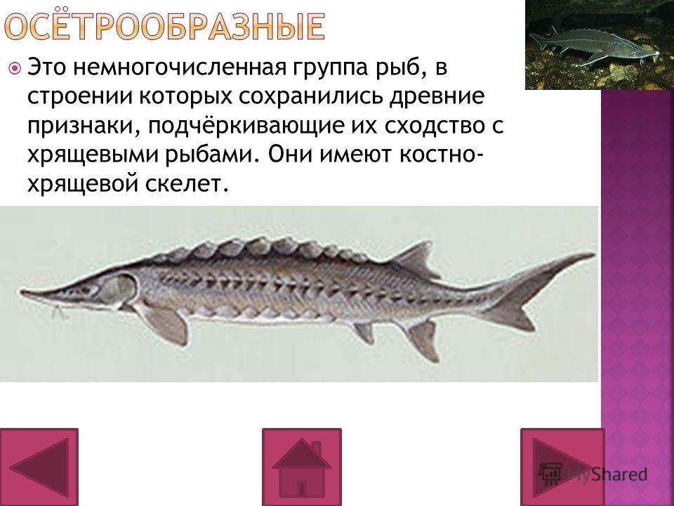 Это немногочисленная группа рыб, в строении которых сохранились древние признаки, подчёркивающие их сходство с хрящевыми рыбами. Они имеют костно- хрящевой скелет.