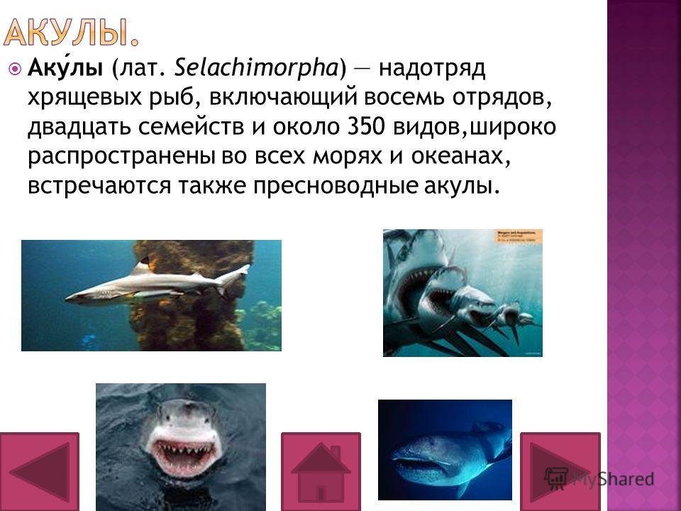 Акулы (лат. Selachimorpha) надотряд хрящевых рыб, включающий восемь отрядов, двадцать семейств и около 350 видов,широко распространены во всех морях и океанах, встречаются также пресноводные акулы.