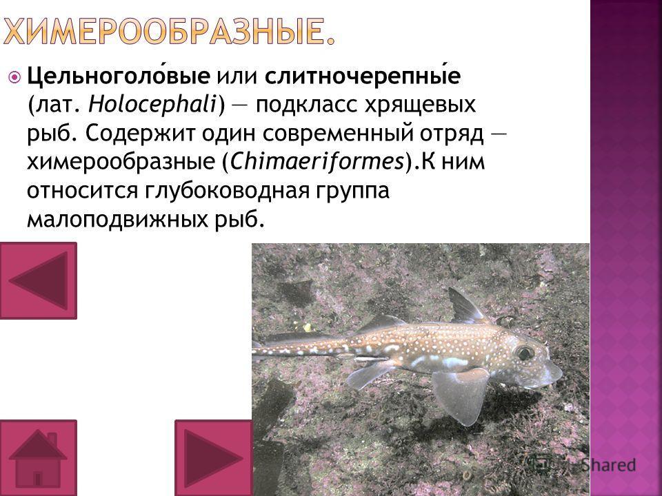 Цельноголовые или слитночерепные (лат. Holocephali) подкласс хрящевых рыб. Содержит один современный отряд химерообразные (Chimaeriformes).К ним относится глубоководная группа малоподвижных рыб.