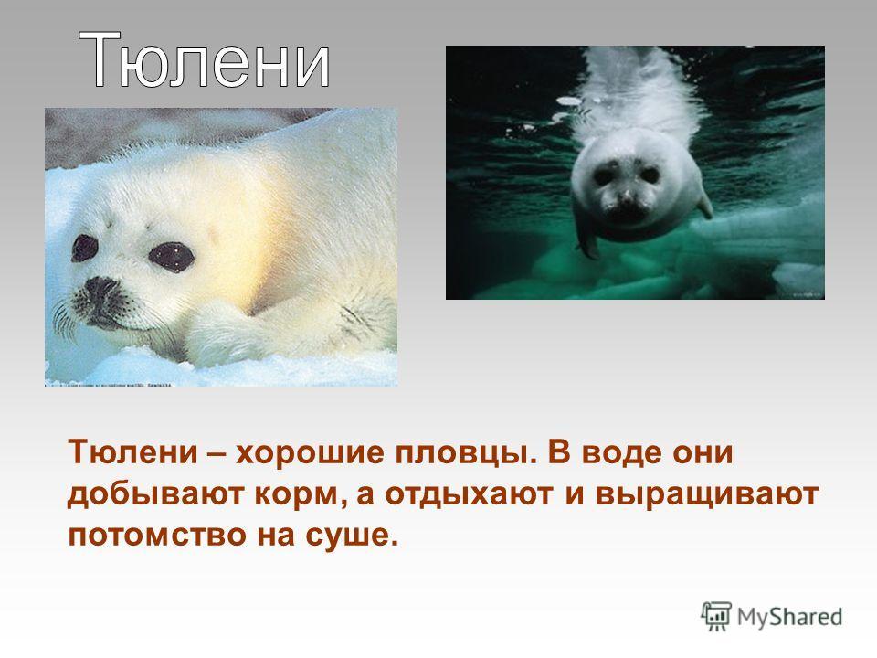 Тюлени – хорошие пловцы. В воде они добывают корм, а отдыхают и выращивают потомство на суше.