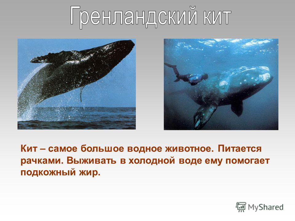 Кит – самое большое водное животное. Питается рачками. Выживать в холодной воде ему помогает подкожный жир.
