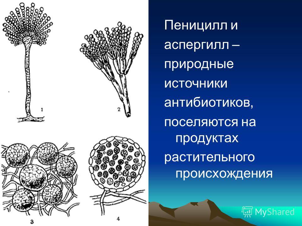 Пеницилл и аспергилл – природные источники антибиотиков, поселяются на продуктах растительного происхождения