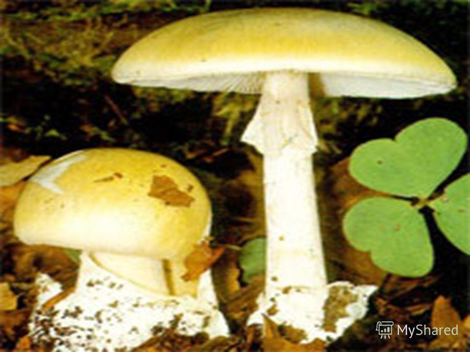 Самый ядовитый гриб – бледная поганка