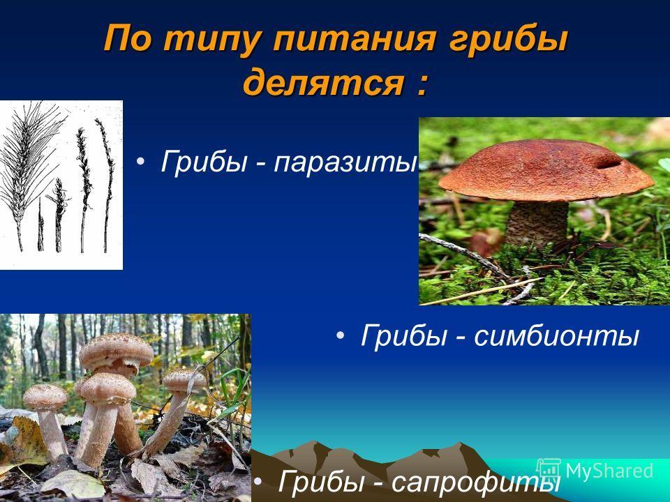 По типу питания грибы делятся : Грибы - паразиты Грибы - сапрофиты Грибы - симбионты
