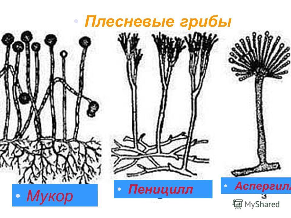 Плесневые грибы Мукор Пеницилл Аспергилл