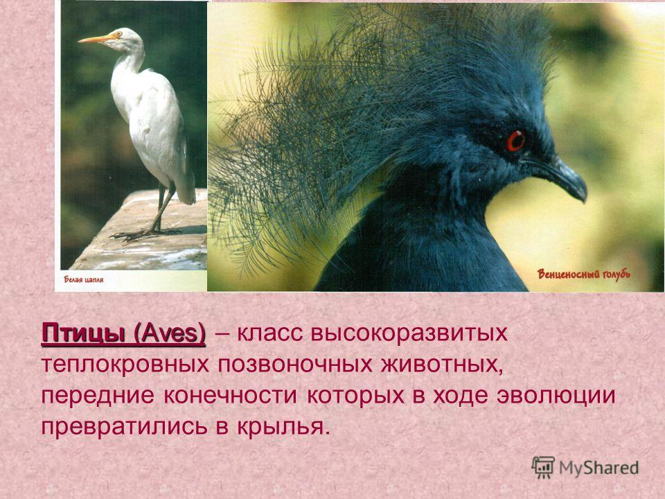 Птицы (Aves) Птицы (Aves) – класс высокоразвитых теплокровных позвоночных животных, передние конечности которых в ходе эволюции превратились в крылья.