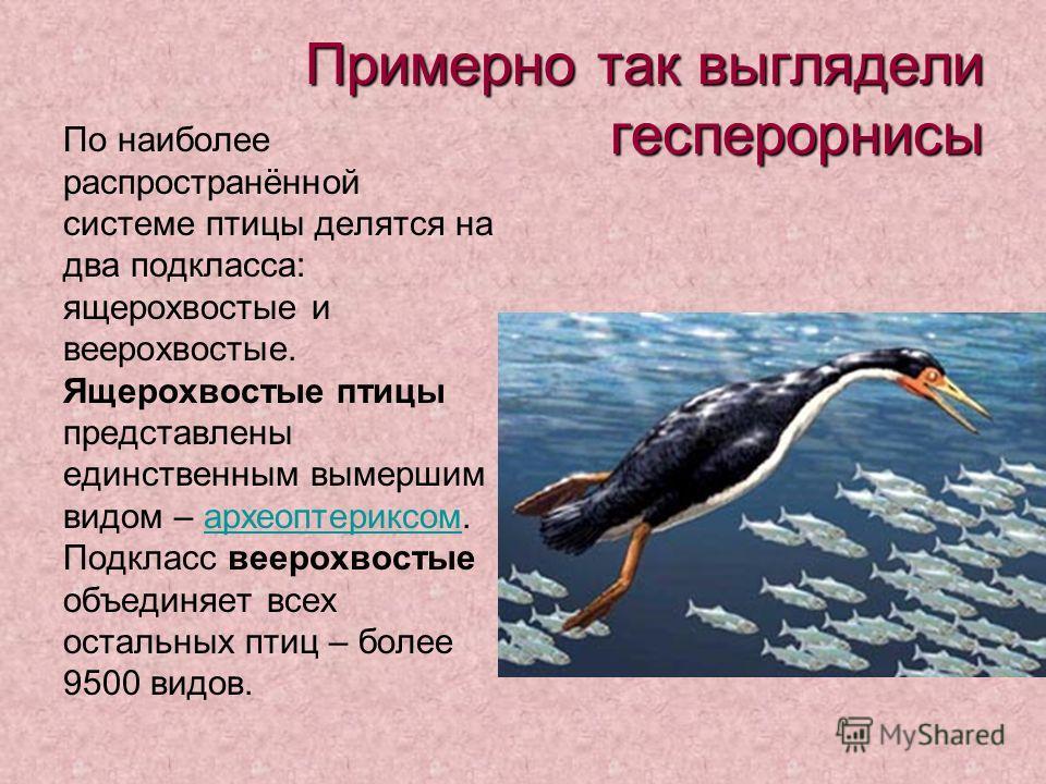 Примерно так выглядели гесперорнисы По наиболее распространённой системе птицы делятся на два подкласса: ящерохвостые и веерохвостые. Ящерохвостые птицы представлены единственным вымершим видом – археоптериксом. Подкласс веерохвостые объединяет всех