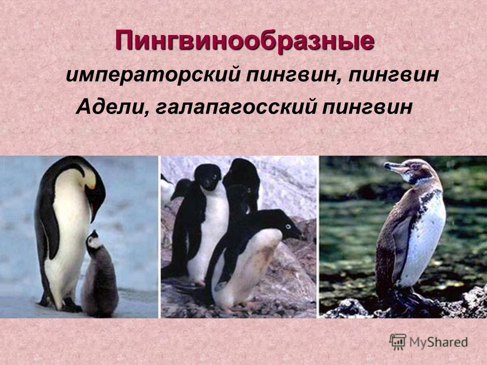 Пингвинообразные Пингвинообразные императорский пингвин, пингвин Адели, галапагосский пингвин