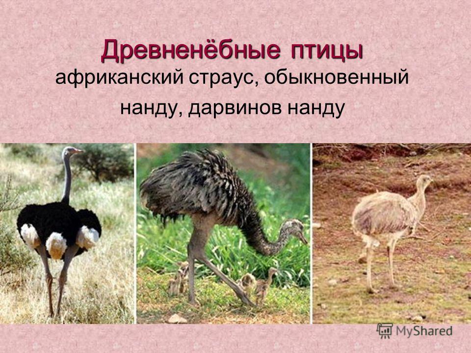 Древненёбные птицы Древненёбные птицы африканский страус, обыкновенный нанду, дарвинов нанду