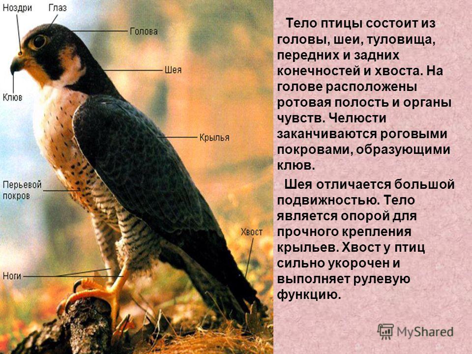Тело птицы состоит из головы, шеи, туловища, передних и задних конечностей и хвоста. На голове расположены ротовая полость и органы чувств. Челюсти заканчиваются роговыми покровами, образующими клюв. Шея отличается большой подвижностью. Тело является