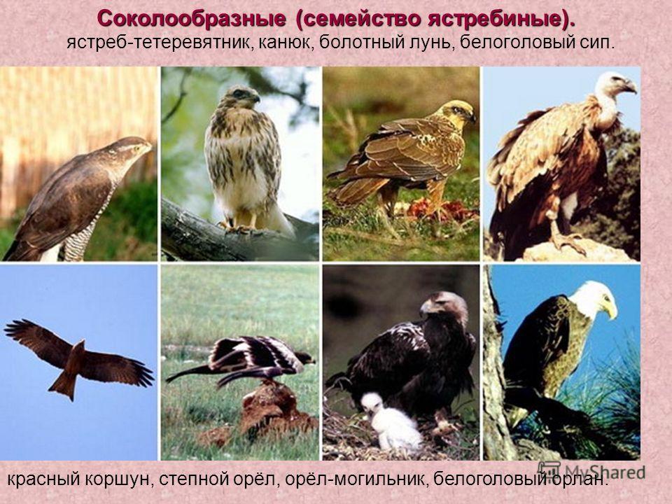 Соколообразные (семейство ястребиные). Соколообразные (семейство ястребиные). ястреб-тетеревятник, канюк, болотный лунь, белоголовый сип. красный коршун, степной орёл, орёл-могильник, белоголовый орлан.
