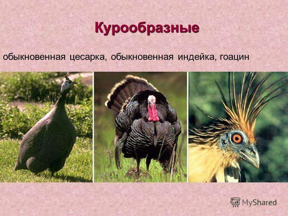 Курообразные обыкновенная цесарка, обыкновенная индейка, гоацин