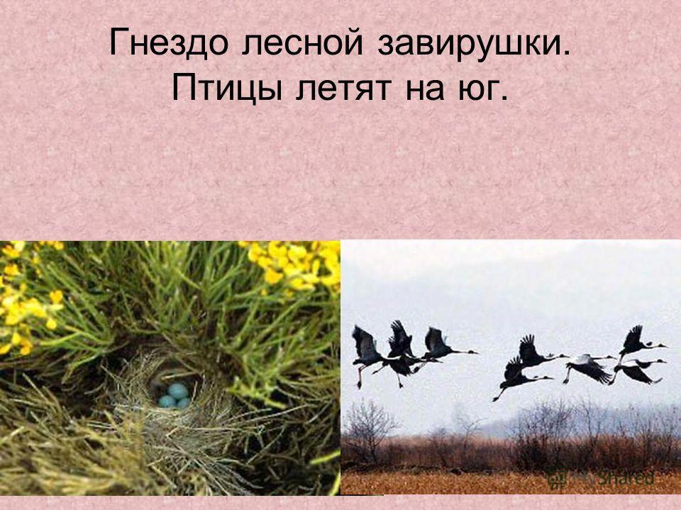 Гнездо лесной завирушки. Птицы летят на юг.
