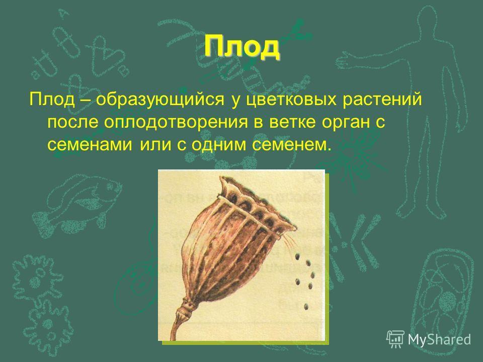 Плод Плод – образующийся у цветковых растений после оплодотворения в ветке орган с семенами или с одним семенем.