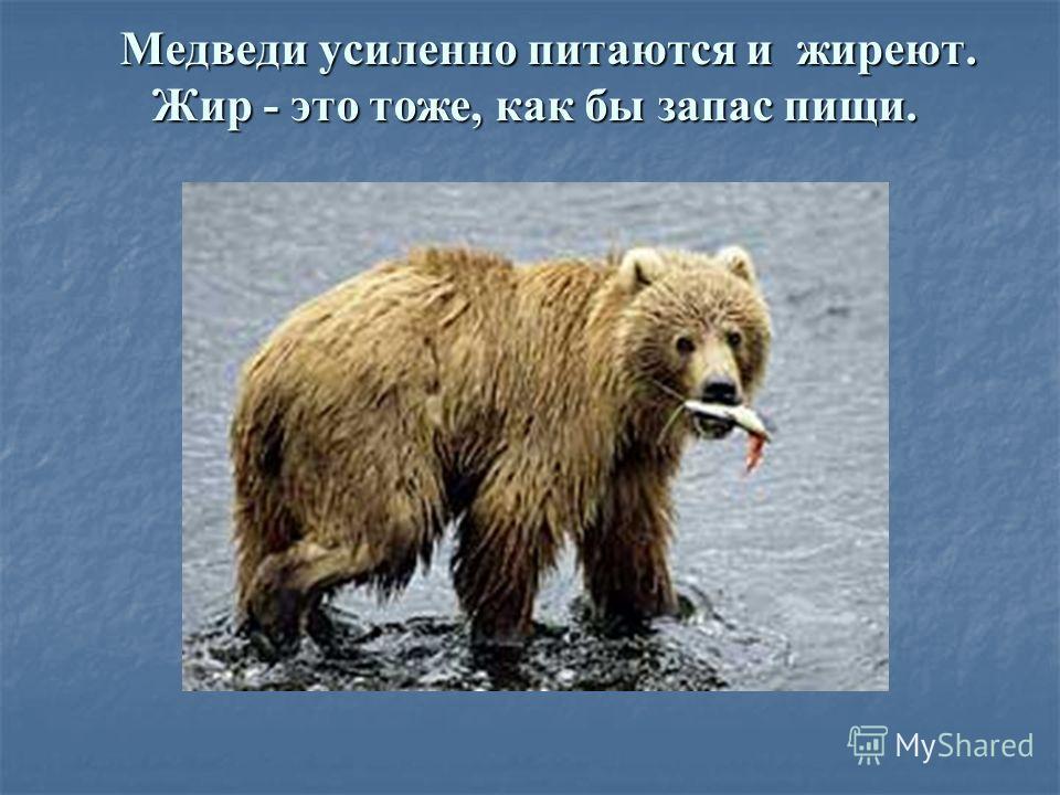 Медведи усиленно питаются и жиреют. Жир - это тоже, как бы запас пищи. Медведи усиленно питаются и жиреют. Жир - это тоже, как бы запас пищи.