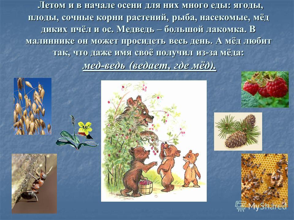 Летом и в начале осени для них много еды: ягоды, плоды, сочные корни растений, рыба, насекомые, мёд диких пчёл и ос. Медведь – большой лакомка. В малиннике он может просидеть весь день. А мёд любит так, что даже имя своё получил из-за мёда: мед-ведь
