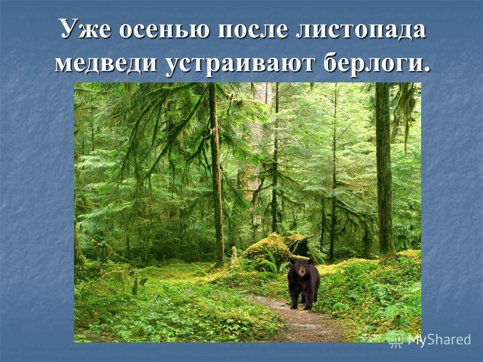 Уже осенью после листопада медведи устраивают берлоги.