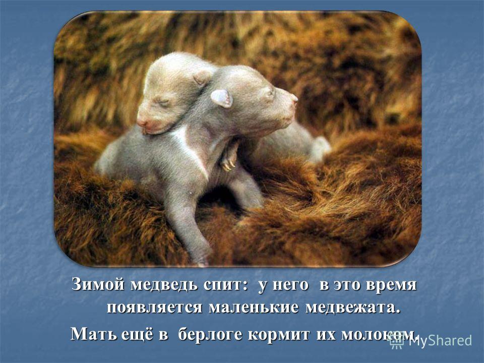 Зимой медведь спит: у него в это время появляется маленькие медвежата. Мать ещё в берлоге кормит их молоком.
