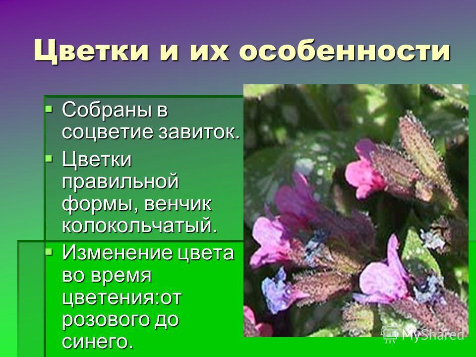 Цветки и их особенности Собраны в соцветие завиток. Собраны в соцветие завиток. Цветки правильной формы, венчик колокольчатый. Цветки правильной формы, венчик колокольчатый. Изменение цвета во время цветения:от розового до синего. Изменение цвета во