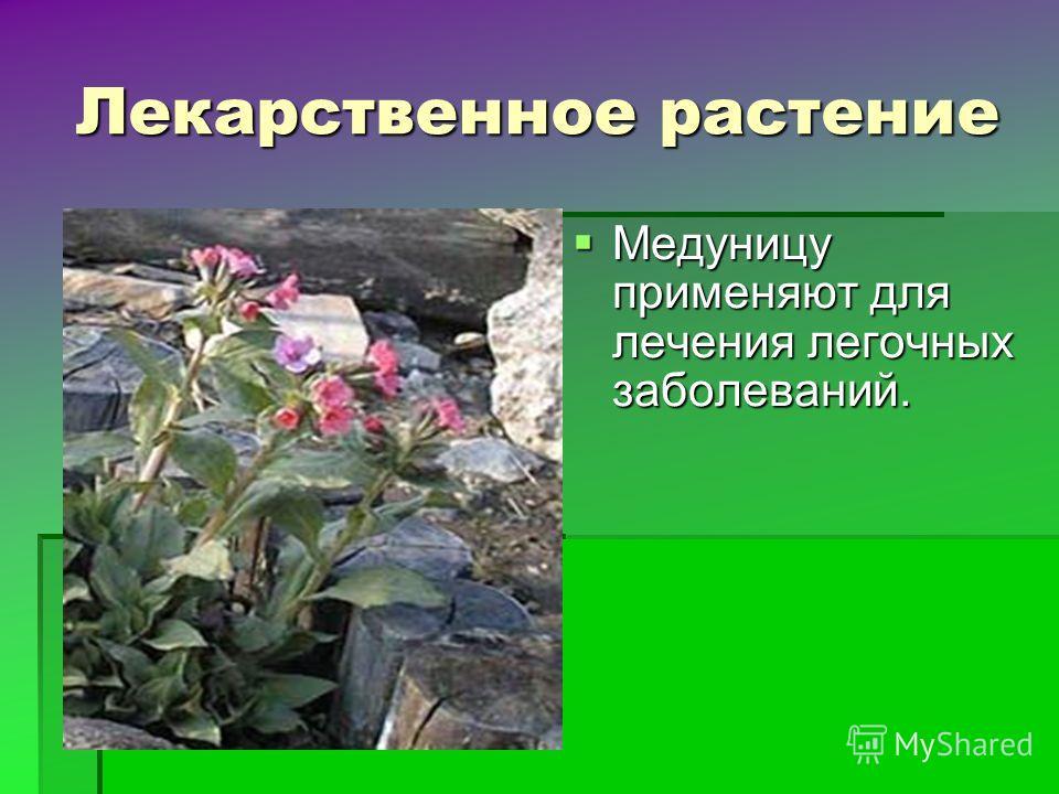 Лекарственное растение Медуницу применяют для лечения легочных заболеваний. Медуницу применяют для лечения легочных заболеваний.