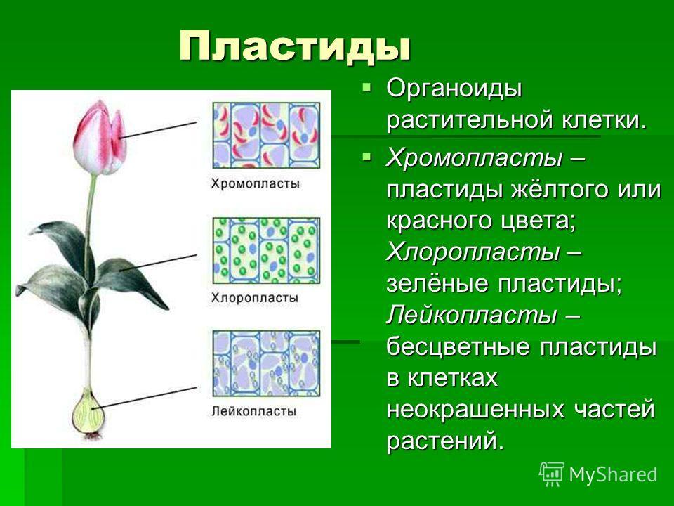 Пластиды Пластиды Органоиды растительной клетки. Органоиды растительной клетки. Хромопласты – пластиды жёлтого или красного цвета; Хлоропласты – зелёные пластиды; Лейкопласты – бесцветные пластиды в клетках неокрашенных частей растений. Хромопласты –