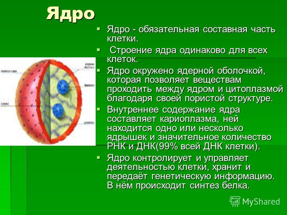Ядро Ядро Ядро - обязательная составная часть клетки. Ядро - обязательная составная часть клетки. Строение ядра одинаково для всех клеток. Строение ядра одинаково для всех клеток. Ядро окружено ядерной оболочкой, которая позволяет веществам проходить
