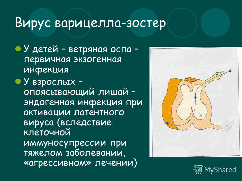 Вирус варицелла-зостер У детей – ветряная оспа – первичная экзогенная инфекция У взрослых – опоясывающий лишай – эндогенная инфекция при активации латентного вируса (вследствие клеточной иммуносупрессии при тяжелом заболевании, «агрессивном» лечении)