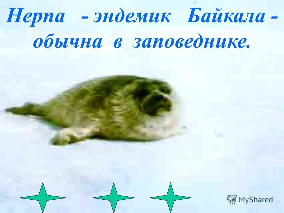 Баргузинский соболь. Ьлагодаря заповеднику,он не стал исчезнувшим видом
