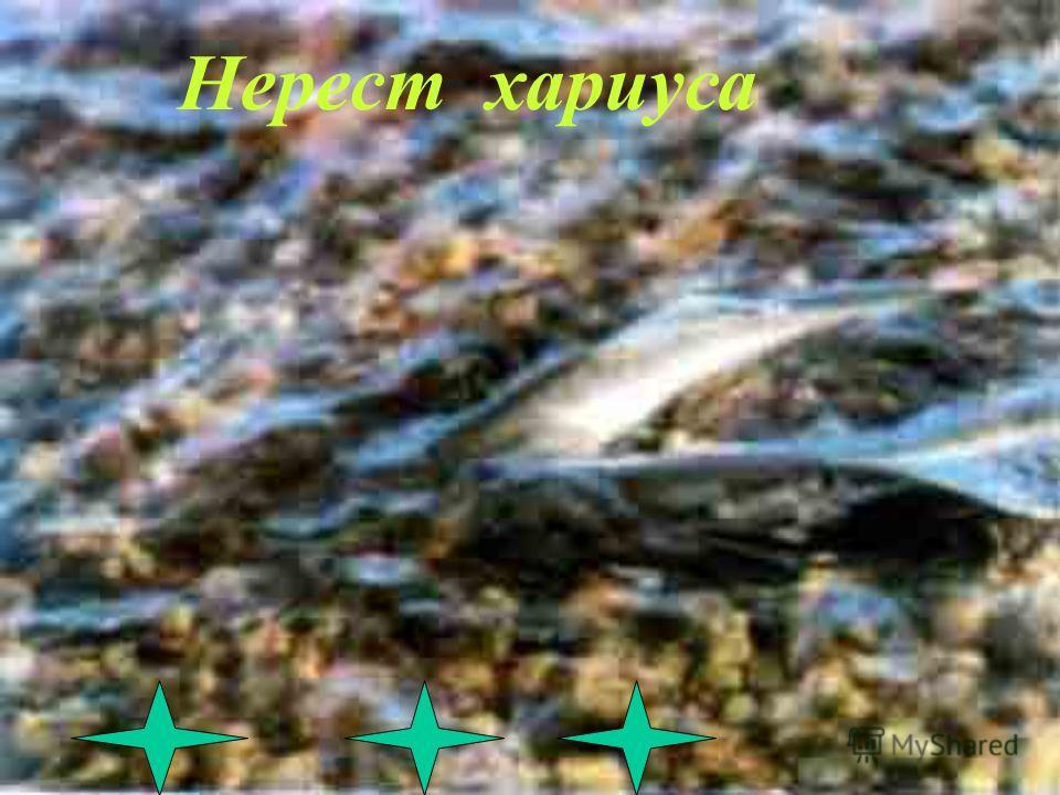 В водах Байкала водятся бычки