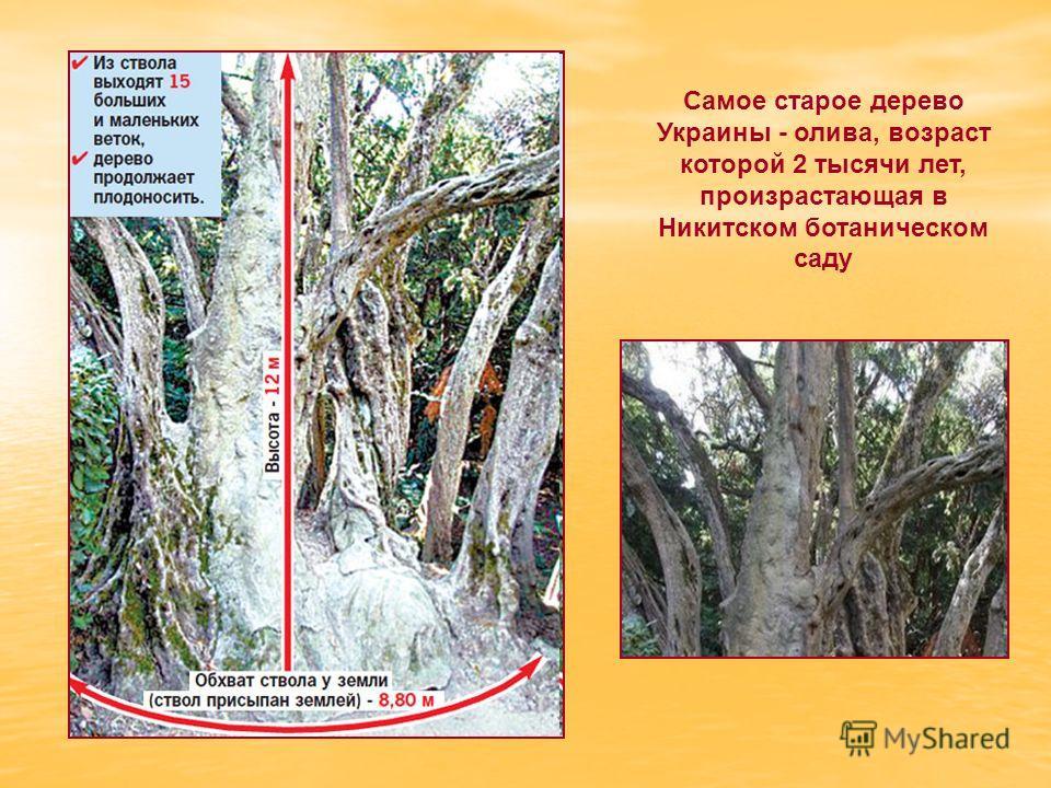 Самое старое дерево Украины - олива, возраст которой 2 тысячи лет, произрастающая в Никитском ботаническом саду