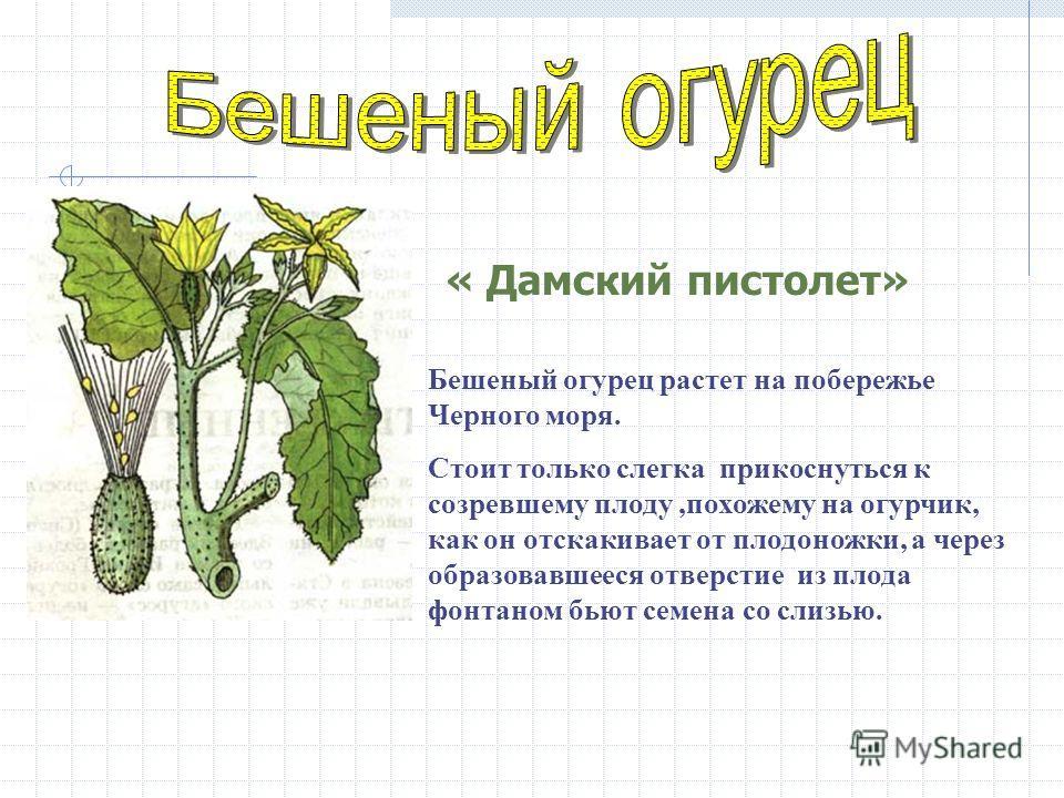 Бешеный огурец растет на побережье Черного моря. Стоит только слегка прикоснуться к созревшему плоду,похожему на огурчик, как он отскакивает от плодоножки, а через образовавшееся отверстие из плода фонтаном бьют семена со слизью. « Дамский пистолет»