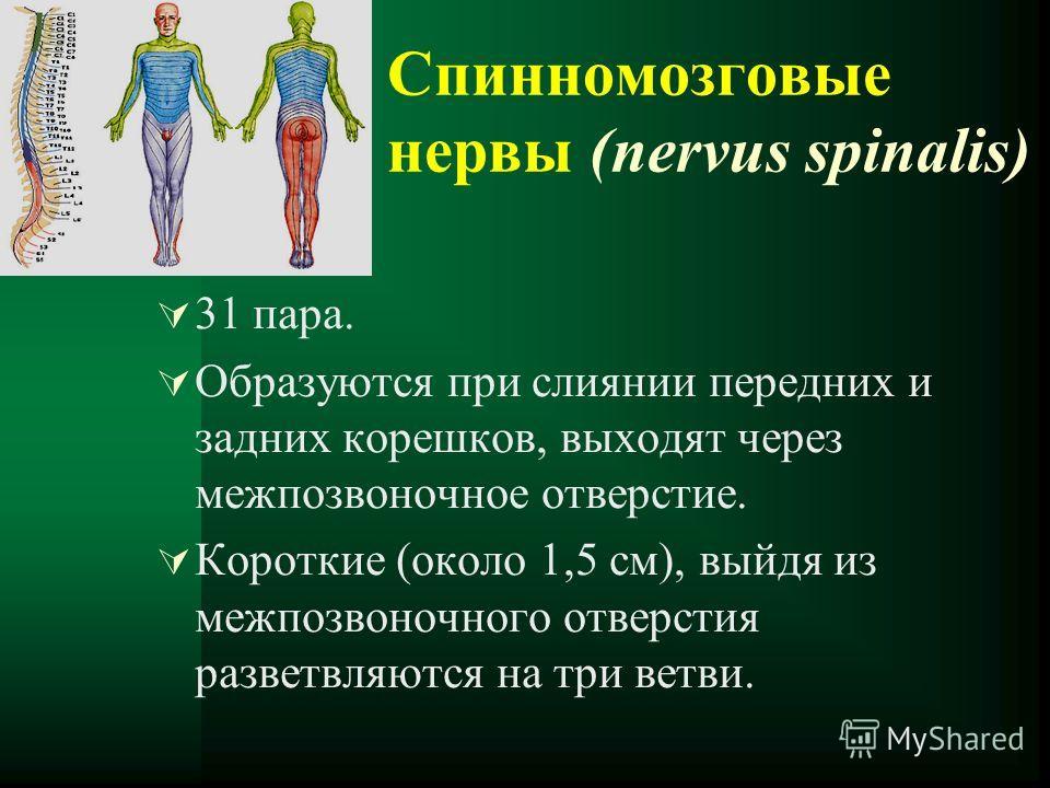 Спинномозговые нервы (nervus spinalis) 31 пара. Образуются при слиянии передних и задних корешков, выходят через межпозвоночное отверстие. Короткие (около 1,5 см), выйдя из межпозвоночного отверстия разветвляются на три ветви.