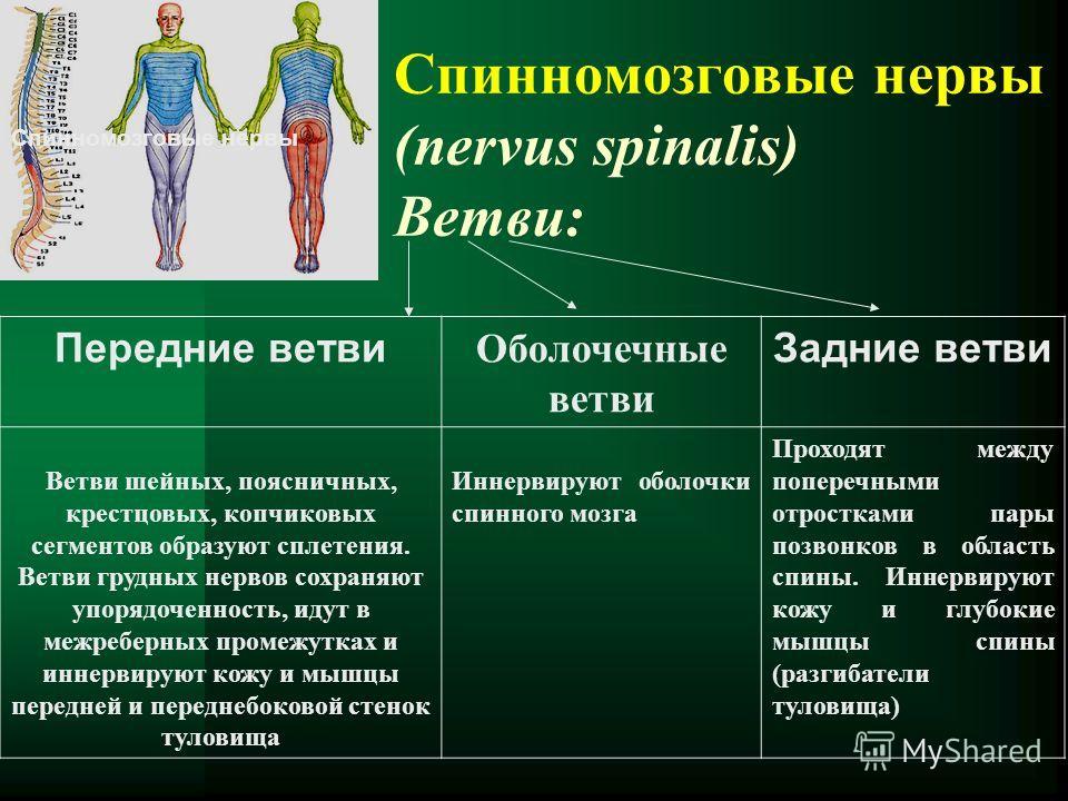 Спинномозговые нервы (nervus spinalis) Ветви: Спинномозговые нервы Передние ветви Оболочечные ветви Задние ветви Ветви шейных, поясничных, крестцовых, копчиковых сегментов образуют сплетения. Ветви грудных нервов сохраняют упорядоченность, идут в меж
