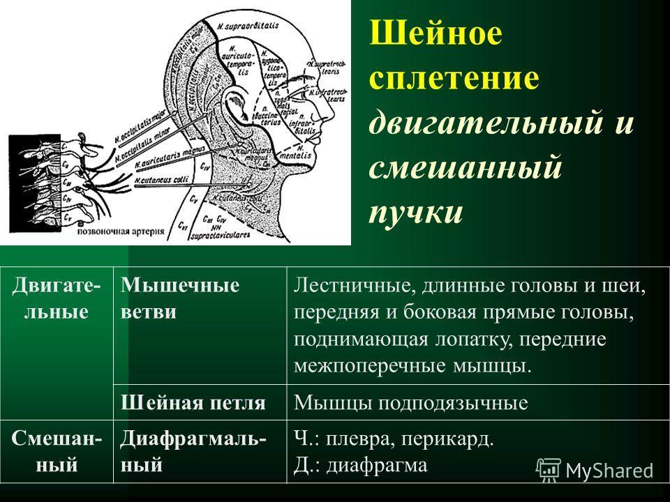 Шейное сплетение двигательный и смешанный пучки Двигате- льные Мышечные ветви Лестничные, длинные головы и шеи, передняя и боковая прямые головы, поднимающая лопатку, передние межпоперечные мышцы. Шейная петляМышцы подподязычные Смешан- ный Диафрагма