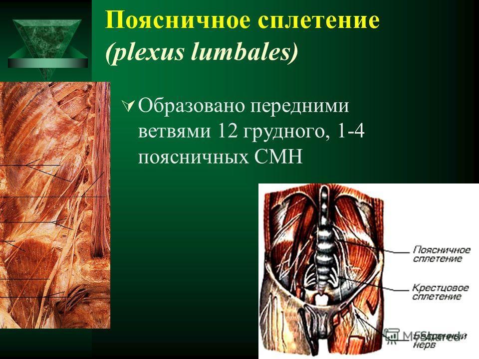 Поясничное сплетение (plexus lumbales) Образовано передними ветвями 12 грудного, 1-4 поясничных СМН