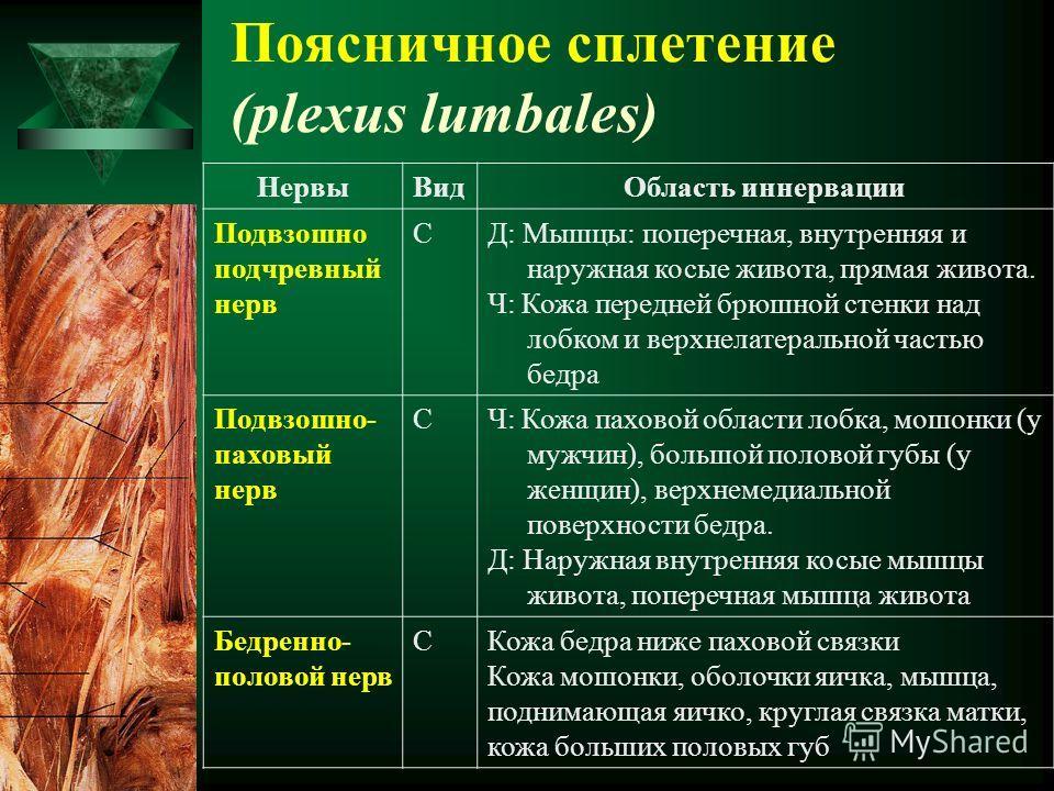 Поясничное сплетение (plexus lumbales) НервыВидОбласть иннервации Подвзошно подчревный нерв СД: Мышцы: поперечная, внутренняя и наружная косые живота, прямая живота. Ч: Кожа передней брюшной стенки над лобком и верхнелатеральной частью бедра Подвзошн